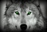 Gray Wolf With Green Eyes