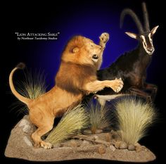 African Lion Mount by Northeast taxidermy Studios #taxidermy #mounts #lions