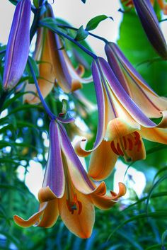 striped lilies...  by RedZena -- GORGEOUS! But I don't plant lilies with my cats around