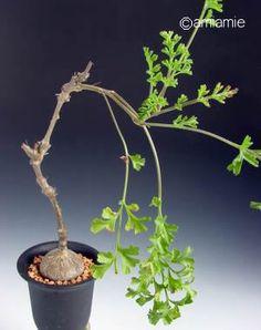 Pelargonium sp.2