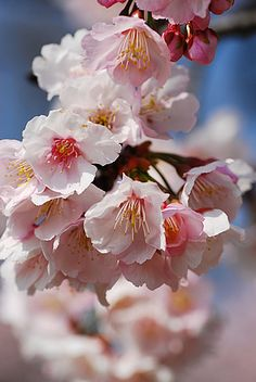 "Cherry blossom - ""Impermanence"""