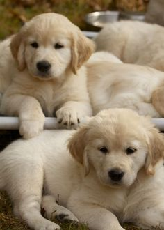 https://www.millersgoldenretrievers.com/ 704 802 7261 Golden Retriever, Goldendoodle and Mini Goldendoodle Puppies for sale in South Carolina - USA! We make it easy for you to find the perfect puppy for your family. We are breeders but we continuously work with other breeders to meet our high levels of care for your future pet and also make sure we always have a puppy available for a family in need and looking.