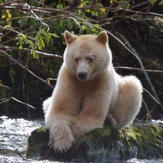 Bildergebnis für spirit bear
