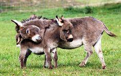miniature donkeys <3