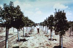 1953 ~ Walt Disney Walks Thru The 160 Acre Orange Grove He Had Just Purchased!