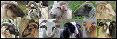 colors drenthe heath sheep