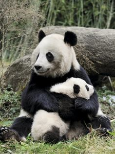 fuckyeahgiantpanda:    A mother and her cub.  © Eric Baccega.