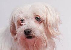 Petango.com – Meet Dimples, a 8 years 7 months Maltese available for adoption in COLORADO SPRINGS, CO