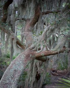 Geoff Robles from Hanging the Moon – Home Décor, Gift Ideas, Wall Art. Spanish Moss Low Country Digital Photography Palmetto Bluff Bluffton, South Carolina