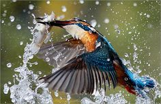 """Min-Hsiung Huang  Tainan, Taiwan  Grand Prize, Amateur      Huang's arresting image is a tribute to his perseverance: Three years ago, he built a photo blind on the bank of a pond in a local wildlife refuge. He has since spent countless hours photographing the birds—particularly common kingfishers—that feed there. The photographer """"tried many ways and thousands of times"""" before he successfully made this photo using a fast shutter speed and manual focus."""