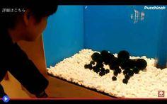 Le buffe creature rotolanti del lago di Aikan Ho inserito nell'acquario qualcosa di nuovo e straordinario, che molto chiaramente viene da lontano: una certa quantità di sfere. Della misura variabile tra i 10 e 20 cm, quasi perfettamente simmetri #giappone #piante #hokkaido #ainu