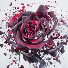 "Rapid Bloom, Photos of Shattering FlowersPhotographer Martin Klimas captures flowers in the midst of shattering in his photo series ""Rapid Bloom."" To achieve the effect, Klimas froze the flowers with liquid nitrogen and shot them with an airgun."