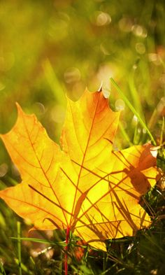 Fall leaves in the grass Autumn Day, Autumn Trees, Autumn Leaves, Autumn Scenery, Fall Highlights, Seasons Of The Year, Happy Fall Y'all, Happy Thanksgiving, Belleza Natural