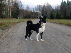 Karelian Bear Dog. Best dog ever.