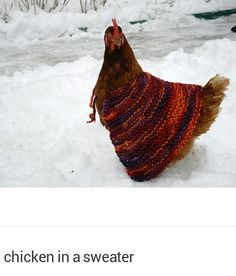 """Chickens wearing sweaters to keep warm in winter! I realize that this makes me a """"not serious"""" urban farmer, but with chickens, I just might do this. (But I think the deep bedding will make it unnecessary. Still, how cute would my chickens b Keeping Chickens, Raising Chickens, Farm Animals, Cute Animals, Grannies Crochet, Chicken Sweater, Chicken Lady, Russian Chicken, Chicken Pen"""