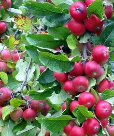 6 pounds crabapples (about 6 quarts)   water   2 campden tablets   1/4 teaspoon pectic enzyme   1 package wine yeast   1 teaspoon nutrien...