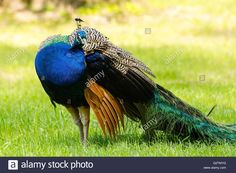 Download this stock image: Peacock in the zoo (Krakow, Poland) - G2TMYG from Alamy's library of millions of high resolution stock photos, illustrations and vectors.