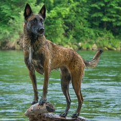 Belgian Belgium Malinois, Belgian Malinois Dog, Belgian Shepherd, German Shepherd Dogs, German Shepherds, Dog Potty, Fluffy Puppies, Animal Crackers, Animal Books