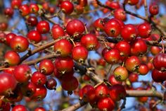 Spiced Crab Apples