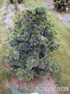 Pinus Parviflora Gamborn's Ideal from ForestFarm at forestfarm.com