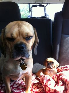 """""""Unimpressed"""" to meet his little brother #puggle #puppy"""