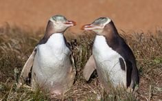 Travel Bug: A Penguin Love Story A trip to New Zealand and a visit to a conservatory for rare yellow-eyed penguins revealed this heartwarming romance. Penguin Love, Sweet Stories, Yellow Eyes, New Zealand Travel, Royalty Free Images, Places To Travel, Penguins, Love Story, The Incredibles