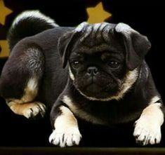 """Awesome """"black pugs"""" detail is offered on our site. Take a look and you wont be sorry you did Black Pug Puppies, Cute Puppies, Cute Dogs, Pug Pictures, Pug Pics, Dog Photos, Pugs And Kisses, Baby Pugs, Tier Fotos"""