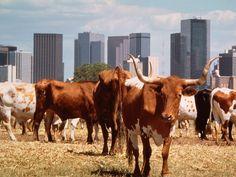 real Texas longhorns