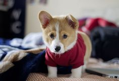CAN YOU EVEN IMAGINE? | 71 Reasons We Need To SAVE CORGIS FROM EXTINCTION