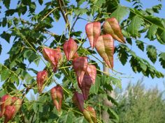 Koelreuteria paniculata - golden-rain tree