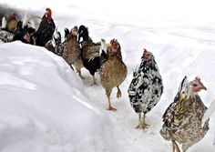 Icelandic Chickens: A Heritage Chicken Breed for Modern Homesteads: Try Icelandic chickens, a colorful, self-reliant heritage chicken breed, to enjoy flavorful meat and excellent egg production. Article from MOTHER EARTH NEWS magazine.
