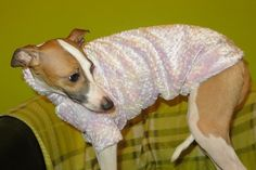 p Italian Greyhound, Greyhounds, Colourful Outfits, Cold, Pink, Animals, Animales, Animaux, Animal