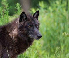 female wolf | Flickr - Photo Sharing!