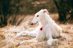 Les 5 races de chiens les plus stupides 5. Une race de chien stupide: le barzoï ou lévrier russe - 4. Une race de chien peu intelligente: le Chow-Chow - 3.Une race de chien idiote: le bouledogue - 2. Une race de chien inintelligente: le basenji ou terrier du Congo - 1. La race de chien la plus ...