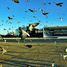 Pombas na Praça dos Três Poderes #iphoneography #iphonephoto#iphoneonly #iphonephotography #igersbrasil #ig #instagramers  #igersbsb #brasilia #brazil #brasil #bresil #congressonacional #senadofederal #agenciasenado Foto de Anderson Mendanha - @agenciasenado- #webstagram
