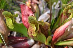 Pitcher Plant (Sarra