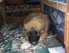 Un cucciolo di pastore dei Caucaso in vendita a Pecs