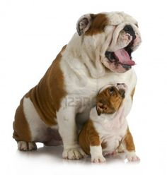 "English Bulldog Father and Son...Originated in the British Isles, descended from the ancient Asiatic mastiff. The dog was given the name ""bull"" because of its use in bull baiting and for its robust look of a little bull. They were aggressive, ferocious and courageous with the power to attack full grown bulls, which they did in arena combat before the practice was banned by law in the 19th century."