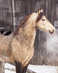 Welsh Cob (section D) stallion Mi Midas Touch