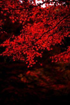 radiant red leaves..