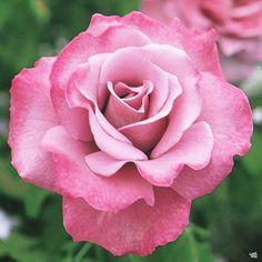 Rose 'Angel Face' — Green Acres Nursery & Supply Floribunda Roses, Shrub Roses, Lavender Blossoms, Lavender Flowers, Early Spring Flowers, Spring Hill Nursery, Fragrant Roses, Bush Plant, Rose Shop