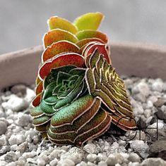 Crassula hemisphaerica [Family: Crassulaceae]