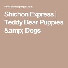Shichon Express | Teddy Bear Puppies & Dogs