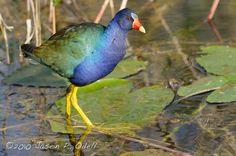 Purple Colored-Birds - All information about Purple Colored Birds. Pictures of Purple Colored Birds and many more. #PurpleColoredBirds #Birds #PurpleBirds #PurpleGallinule