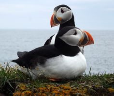 lots of puffins at the cape