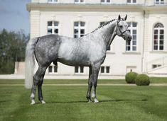 Hanoverian stallion, Levistan.
