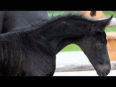 www.sporthorses-online.com 2015 Hanoverian black colt D- line for sale