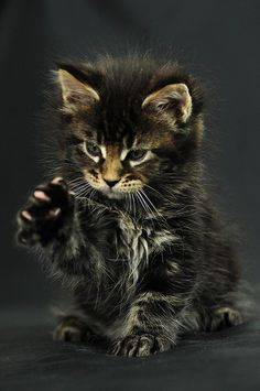 Odin by indycoon Maine Coon ღ