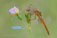 https://flic.kr/p/tE1FUy | Crocothemis erythraea ♂ (Brullé, 1832) Rosa canina (L., 1753) | Crocothemis erythraea (Brullé 1832) Dimensioni: 35-45 mm, apertura alare 50-70 mm Descrizione della specie: Ordine: Odonata Subordine: Anisoptera Famiglia:Libellulidae Genere: Crocothemis i maschi di questa specie sono completamente rossi con testa, occhi e addome rosso brillante e torace, al limite, bruno-rossastro. Gli esemplari immaturi e le femmine sono bruno-giallastri. Esistono anche casi, molto…