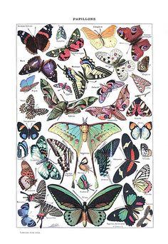 Papillons (Larousse)